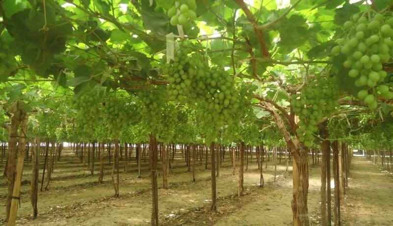 fruit farm sangli maharashtra